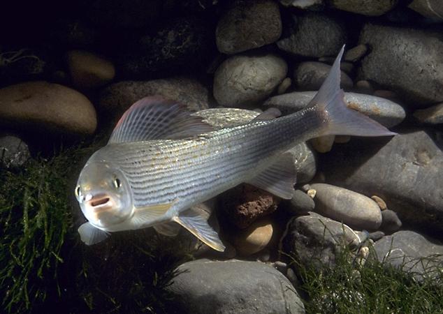 Äsche (Thymallus thymallus) - Fisch des Jahres 2021 in Österreich