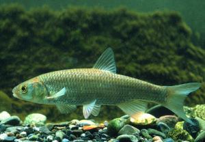 Döbel, Alet (Leuciscus cephalus) - Fisch des Jahres 2021 der Schweiz