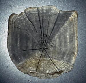 Schuppe einer 33 cm langen Rotfeder