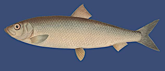 Der Atlantische Hering (Clupea harengus) - Fisch des Jahres 2021 in Deutschland